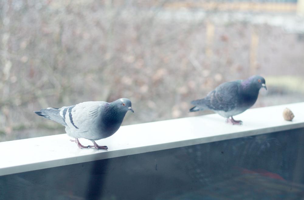 tauben m gen 39 s skandinavisch a pigeon story mein feenstaub. Black Bedroom Furniture Sets. Home Design Ideas