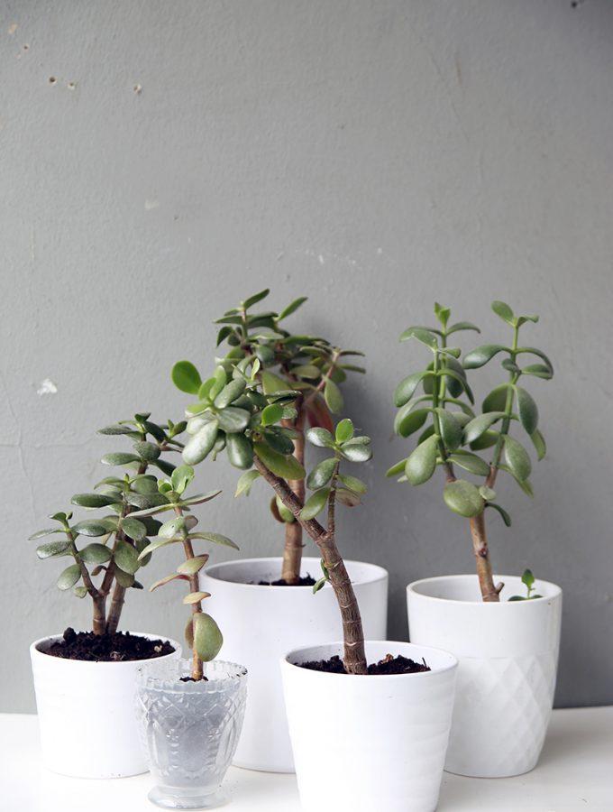 {Pflanzenliebe} Geldbaum vermehren