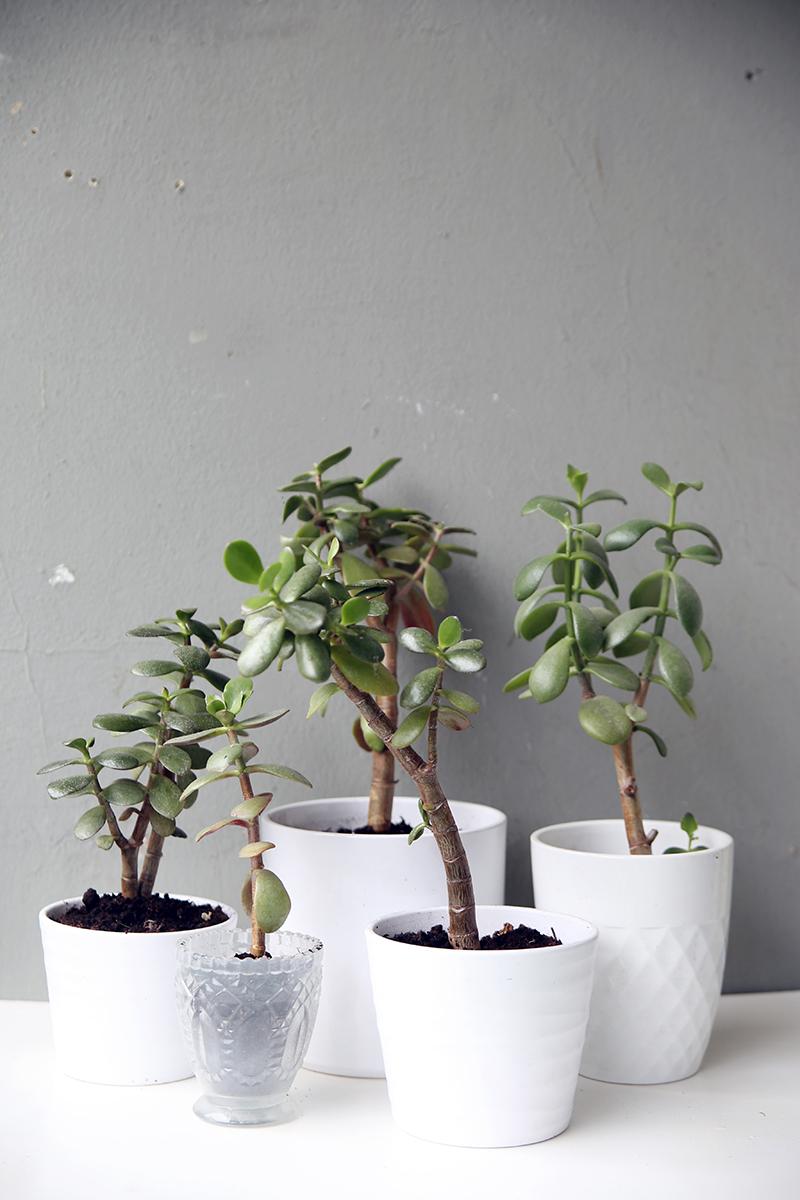 pflanzenliebe geldbaum vermehren mein feenstaub. Black Bedroom Furniture Sets. Home Design Ideas