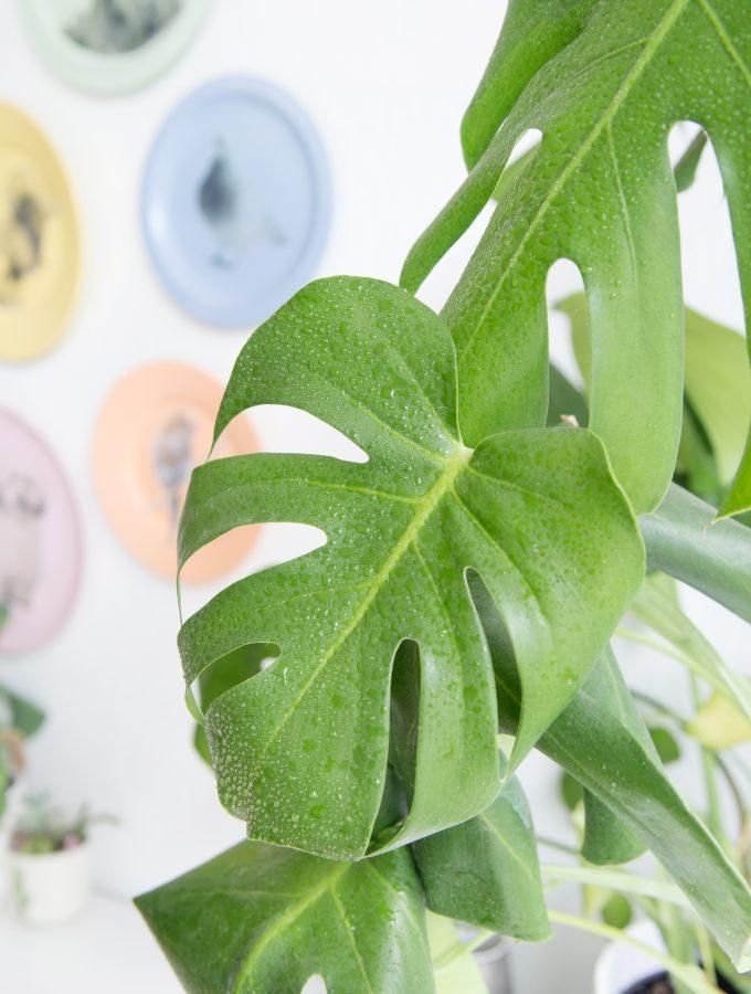 DIY Plantlove: Monstera vermehren