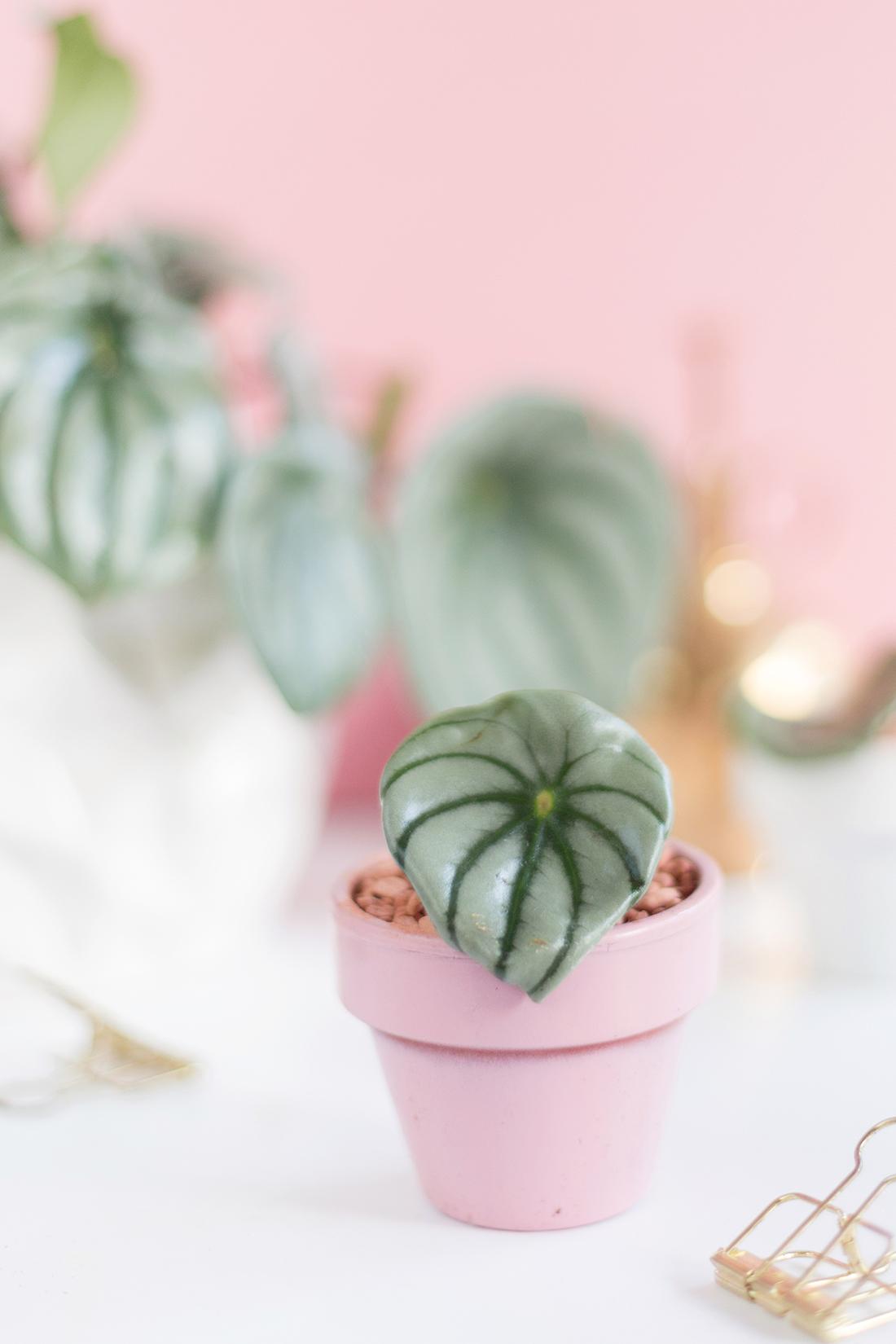 DIY Pflanzenliebe: Watermelon Peperomia vermehren & pflegen